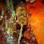 oloturia 07 150x150 Holoturia tubulosa   Oloturia cetriolo di mare