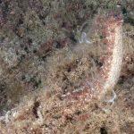 oloturia 09 150x150 Holoturia tubulosa   Oloturia cetriolo di mare