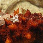 oloturia 30 150x150 Holoturia tubulosa   Oloturia cetriolo di mare