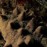 oloturia 36 150x150 Holoturia tubulosa   Oloturia cetriolo di mare