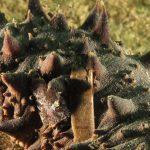 oloturia 38 150x150 Holoturia tubulosa   Oloturia cetriolo di mare