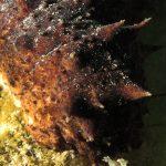 oloturia 39 150x150 Holoturia tubulosa   Oloturia cetriolo di mare