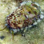 Haliotis lamellosa - Orecchia di mare