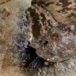 orecchia di venere 10 150x150 Haliotis lamellosa   Orecchia di mare