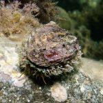 orecchia di venere 11 150x150 Haliotis lamellosa   Orecchia di mare