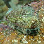 orecchia di venere 15 150x150 Haliotis lamellosa   Orecchia di mare