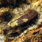 orecchia di venere 21 150x150 Haliotis lamellosa   Orecchia di mare