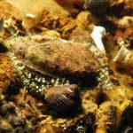 orecchia di venere 22 150x150 Haliotis lamellosa   Orecchia di mare