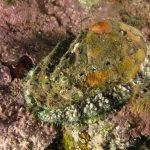 orecchio di venere 54 150x150 Haliotis lamellosa   Orecchia di mare