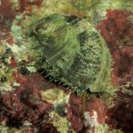 orecchio di venere 61 150x150 Haliotis lamellosa   Orecchia di mare