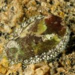orecchio di venere 62 150x150 Haliotis lamellosa   Orecchia di mare
