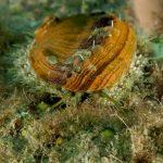 orecchio di venere 65 150x150 Haliotis lamellosa   Orecchia di mare