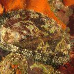 orecchio di venere 69 150x150 Haliotis lamellosa   Orecchia di mare