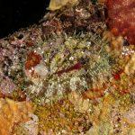 orecchio di venere 84 150x150 Haliotis lamellosa   Orecchia di mare