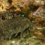 orecchio di venere 87 150x150 Haliotis lamellosa   Orecchia di mare