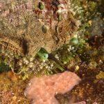 orecchio di venere 89 150x150 Haliotis lamellosa   Orecchia di mare