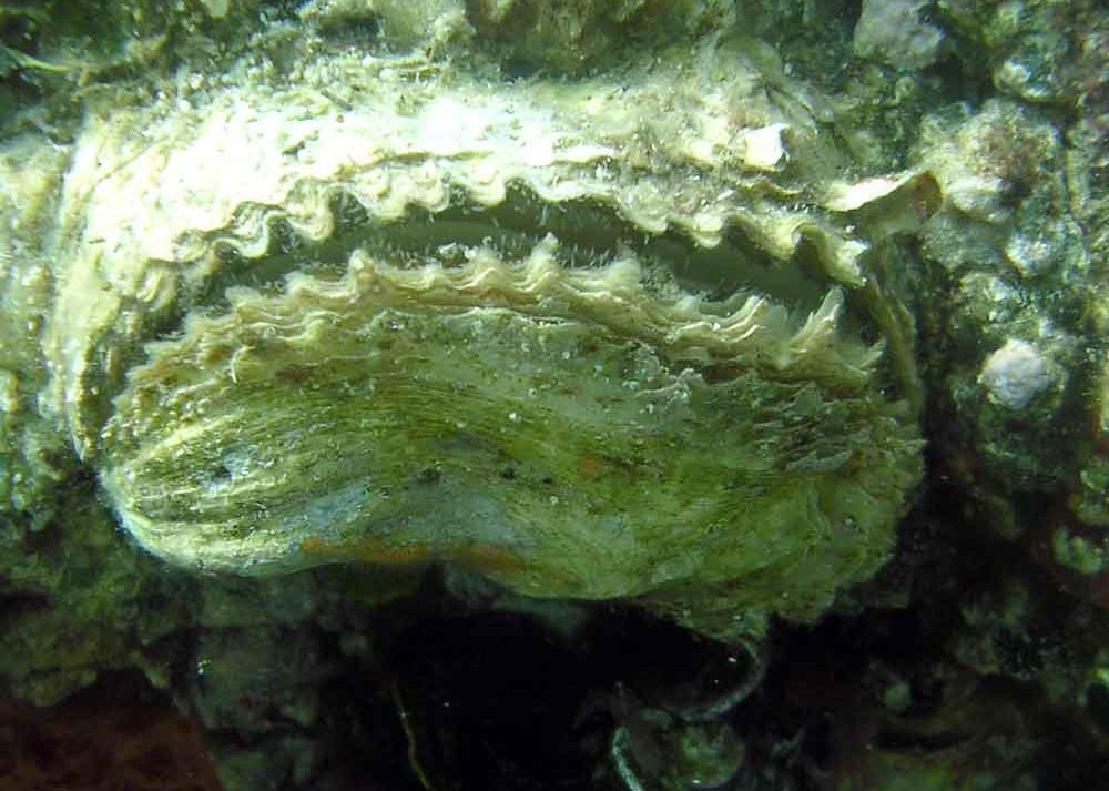 ostrica-zig.zag-08