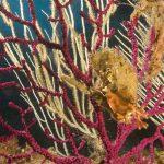 ostrica alata 04 150x150 Pteria irundo   Ostrica alata