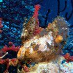 ostrica alata 06 150x150 Pteria irundo   Ostrica alata