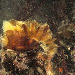 ostrica lunga 03 150x150 Crassostrea gigas, Ostrica lunga