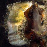 ostrica lunga 04 150x150 Crassostrea gigas, Ostrica lunga