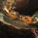 ostrica piatta 18 150x150 Ostrea edulis   Ostrica piatta