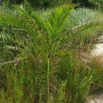 palma nana 03 150x150 Palma nana (probabile)