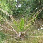 palma nana 04 150x150 Palma nana (probabile)