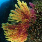 paramuricea clavata camaleonte 101 150x150 Paramuricea clavata camaleonte