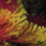 paramuricea clavata camaleonte 29 150x150 Paramuricea clavata camaleonte