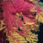 paramuricea clavata camaleonte 39 150x150 Paramuricea clavata camaleonte