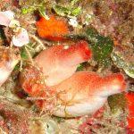 patata di mare 07 150x150 Patata di mare