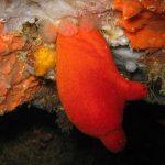 patata di mare 20 150x150 Patata di mare