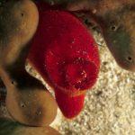 patata di mare 44 150x150 Patata di mare
