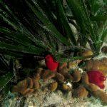 patata di mare 49 150x150 Patata di mare