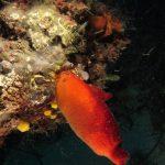 patata di mare 65 150x150 Patata di mare