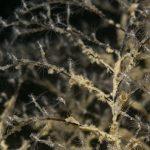 pennaria 75 150x150 Halocordyle disticha   Plumularia