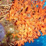 pentapora 05 150x150 Pentapora fascialis   Pentapora