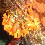 pentapora 12 150x150 Pentapora fascialis   Pentapora