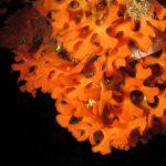 pentapora 16 150x150 Pentapora fascialis   Pentapora