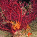 pentapora 43 150x150 Pentapora fascialis   Pentapora