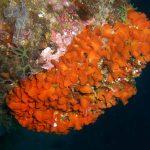 pentapora fogliosa 04 150x150 Pentapora foliacea, Pentapora fogliosa