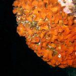 pentapora fogliosa 05 150x150 Pentapora foliacea, Pentapora fogliosa