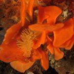 pentapora foliosa 16 150x150 Pentapora foliacea, Pentapora fogliosa