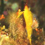 peperoncino giallo 03 150x150 Trypterigion delaisi   Pesce peperoncino giallo