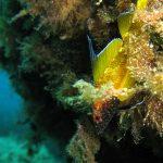 peperoncino giallo 09 150x150 Trypterigion delaisi   Pesce peperoncino giallo