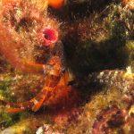 peperoncino giallo 102 150x150 Trypterigion delaisi   Pesce peperoncino giallo