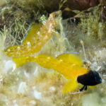 peperoncino giallo 110 1 150x150 Trypterigion delaisi   Pesce peperoncino giallo