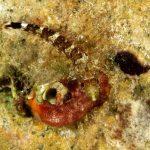 peperoncino giallo 112 150x150 Trypterigion delaisi   Pesce peperoncino giallo