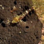 peperoncino giallo 113 150x150 Trypterigion delaisi   Pesce peperoncino giallo